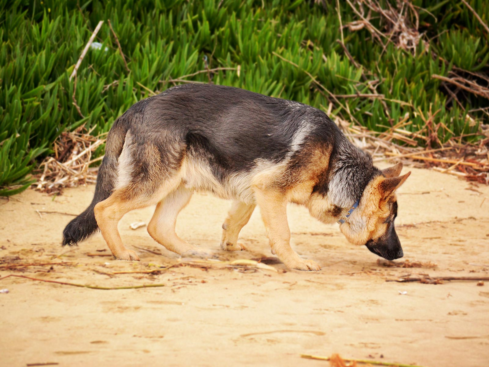 German Shepherd sniffing floor on the beach, possible a police sniffer dog