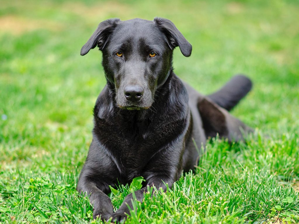 Picture of a black labrador laying on grass in a field, a typical police sniffer dog